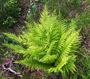 Fern green in forest summer Stock Photos