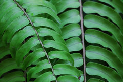 Fern. Green fern in garden for nature Royalty Free Stock Image