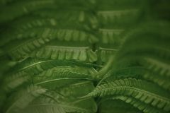 Fern green leaf in the forest. Close-up of green leaves. Low key royalty free stock images