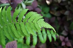Fern green leaves in nature background beautiful  bright color. Texture in rainforest Royalty Free Stock Images