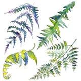 Fern green leaves. Watercolor background illustration set. Isolated fern illustration element. Fern green leaves. Leaf plant botanical garden floral foliage vector illustration