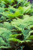 Fern green thicket. Green fern thicket summer foliage forest background Royalty Free Stock Photo