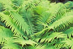 Fern green thicket. Green fern thicket summer foliage forest background Royalty Free Stock Image