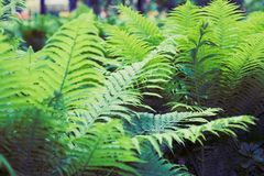 Fern green thicket. Green fern thicket summer foliage forest background Stock Photos