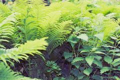 Fern green thicket. Green fern thicket summer foliage forest background Royalty Free Stock Photography
