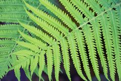 Fern green thicket. Green fern thicket summer foliage forest background Stock Photography