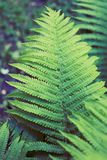 Fern green thicket. Green fern thicket summer foliage forest background Royalty Free Stock Photos