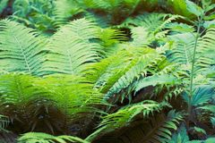 Fern green thicket. Green fern thicket summer foliage forest background Stock Image