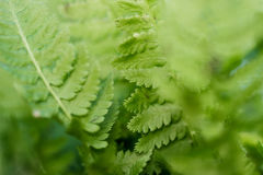 Fern greenery Royalty Free Stock Images