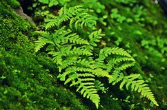 The Fern Royalty Free Stock Photo