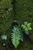 Fern grow on tree trunk Royalty Free Stock Photo