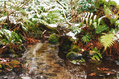 Fern growing along the creek in winter time. Fern leaves covered with snow in the forest Stock Images