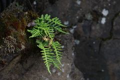 Fern Growing Amongst Rocks fotografia de stock