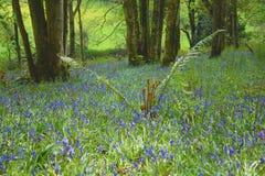 Fern growing in bluebells field Royalty Free Stock Image