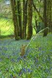 Fern growing in bluebells field Stock Image