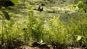 Fern growing on a bog in the wild forest. stock footage