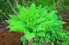 Fern growing in the forest Royalty Free Stock Photo