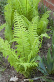 Fern growing in a garden Stock Image