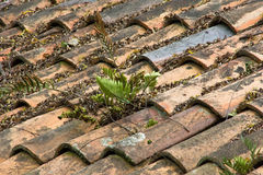 Fern Growing Through Old Terracotta tegelplattatak Royaltyfri Fotografi