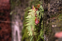 Fern growing on a rock in fall. A fern braving the cold and still managing to grow in the fall Royalty Free Stock Photo