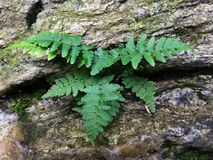 Fern growing from rock Royalty Free Stock Photo