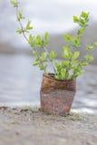 Fern Growing Rusty Can Stock Foto's