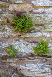 Fern growing on stone wall. Green Fern plants growing on stone wall Royalty Free Stock Image
