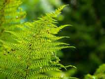 Fern growing in the summer forest. the sun's rays pass through the plant and provide pleasant shade. A fern growing in the summer forest. the sun's rays pass Stock Photos