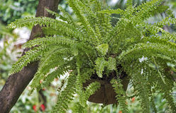 Fern hanging vase in the garden Royalty Free Stock Images