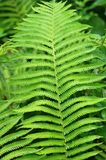 The wonderful pattern on the fern plant. Stock Photography