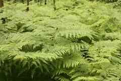 Fern i skogen Fotografering för Bildbyråer