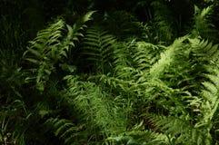 Fern i skogen royaltyfri fotografi