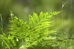 Fern i skogen Arkivfoto
