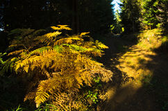 Fern illuminated by ray of autumn light in a dark forest, Cemerno mountain Stock Images