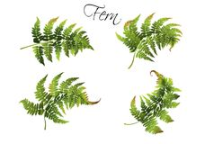 Fern illustration set. Vector realistic illustration set of fern isolated on white background. Botanical element for tropical or forest design project. Highly Royalty Free Stock Photography