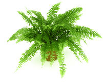 Fern In A Pot Stock Photo