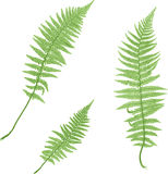 Fern isolated on white. Royalty Free Stock Images