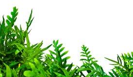 Fern isolated on white background. Fern leaf isolated on white background Stock Photography