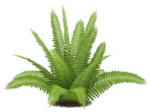 Fern isolated. At the white background Stock Photo