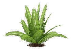 Fern isolated. At the white background Stock Image