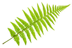 Fern isolated Stock Images