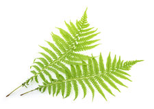 Fern isolated on white Stock Images