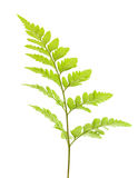 fern isolated Royalty Free Stock Photo
