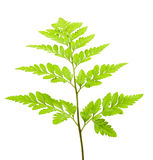 Fern isolated. On white background Royalty Free Stock Photography