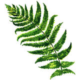 Fern isolated on white background. Fern isolated, watercolor painting on white background Stock Photos
