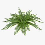 Fern isolated on white. 3D illustration. Fern isolated on white background. 3D illustration Stock Images