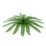 Fern isolated on white. 3D illustration. Fern isolated on white background. 3D illustration Royalty Free Stock Photos