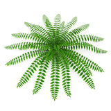 Fern isolated on white. 3D illustration. Fern isolated on white background. 3D illustration Royalty Free Stock Photography