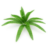 Fern isolated on white. 3D illustration. Fern isolated on white background. 3D illustration Royalty Free Stock Images