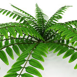 Fern isolated on white. 3D illustration. Fern isolated on white background. 3D illustration Stock Photography